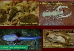Blind crayfish