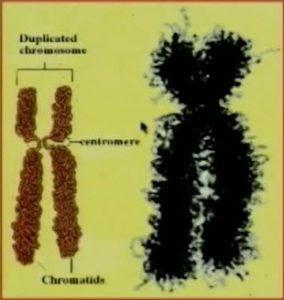 Chromozome1