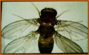 Drosophila Mulli-1