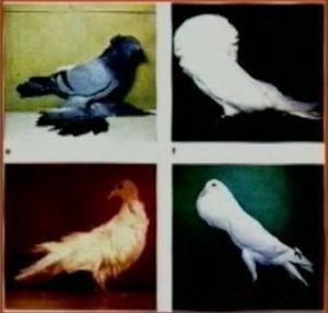 Pigeon variaties1