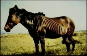 Zebra horse cross